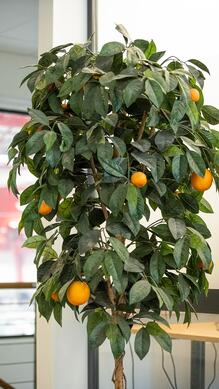Oranges has been a part of Aarbakkes culture for decades